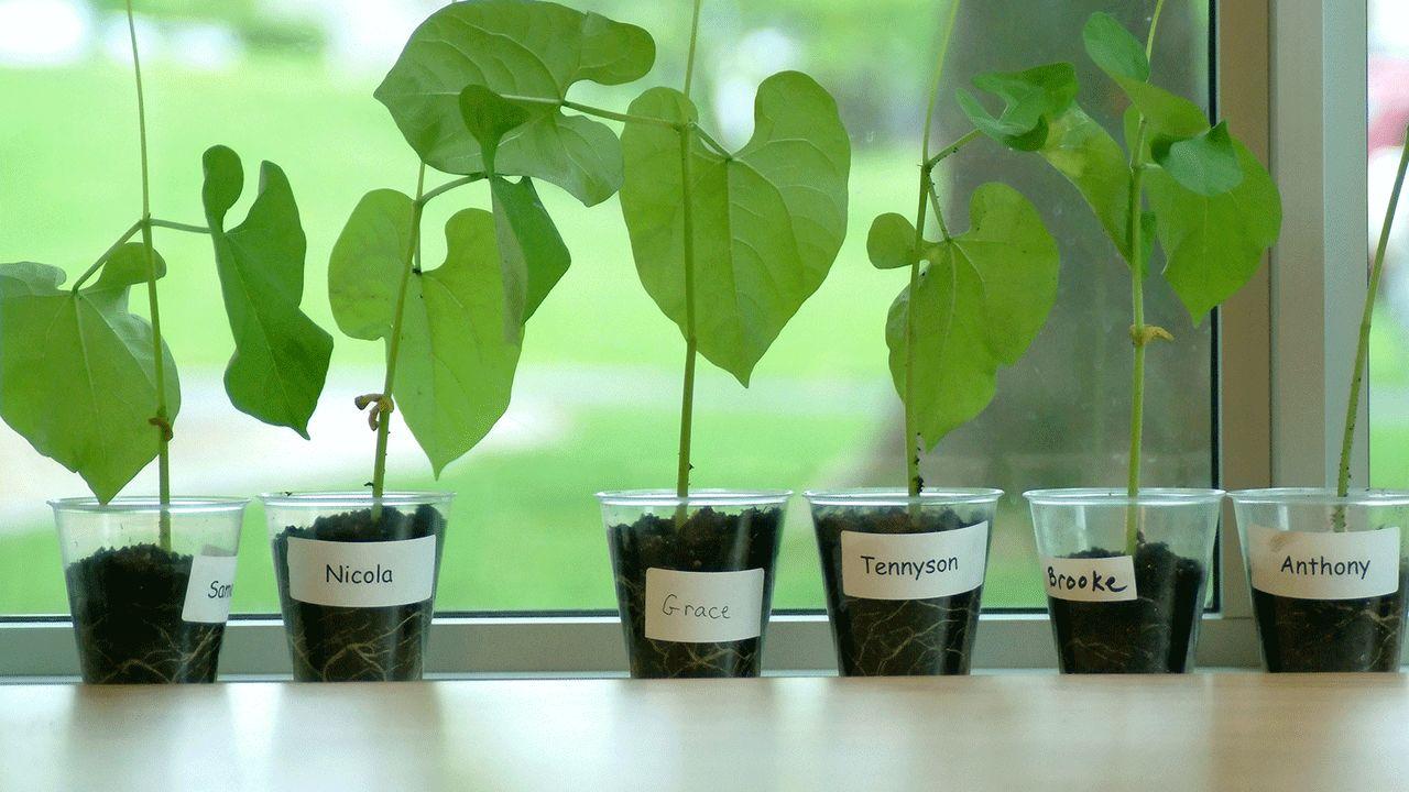 Выращиваем бобы в домашних условиях